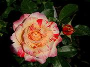 Rosen von Delbard - Camille Pissaro (Rainbow Nation)