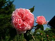 Rosen von Delbard - Comtesse de S�gur