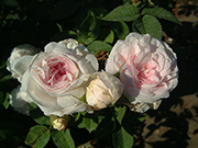 Rosa Alba - Félicité Parmentier