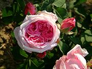 Portland Rosen - Mme. Boll