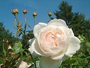 Rosen von Delbard - Madame Figaro
