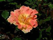 Rosen von Delbard - Pur Caprice