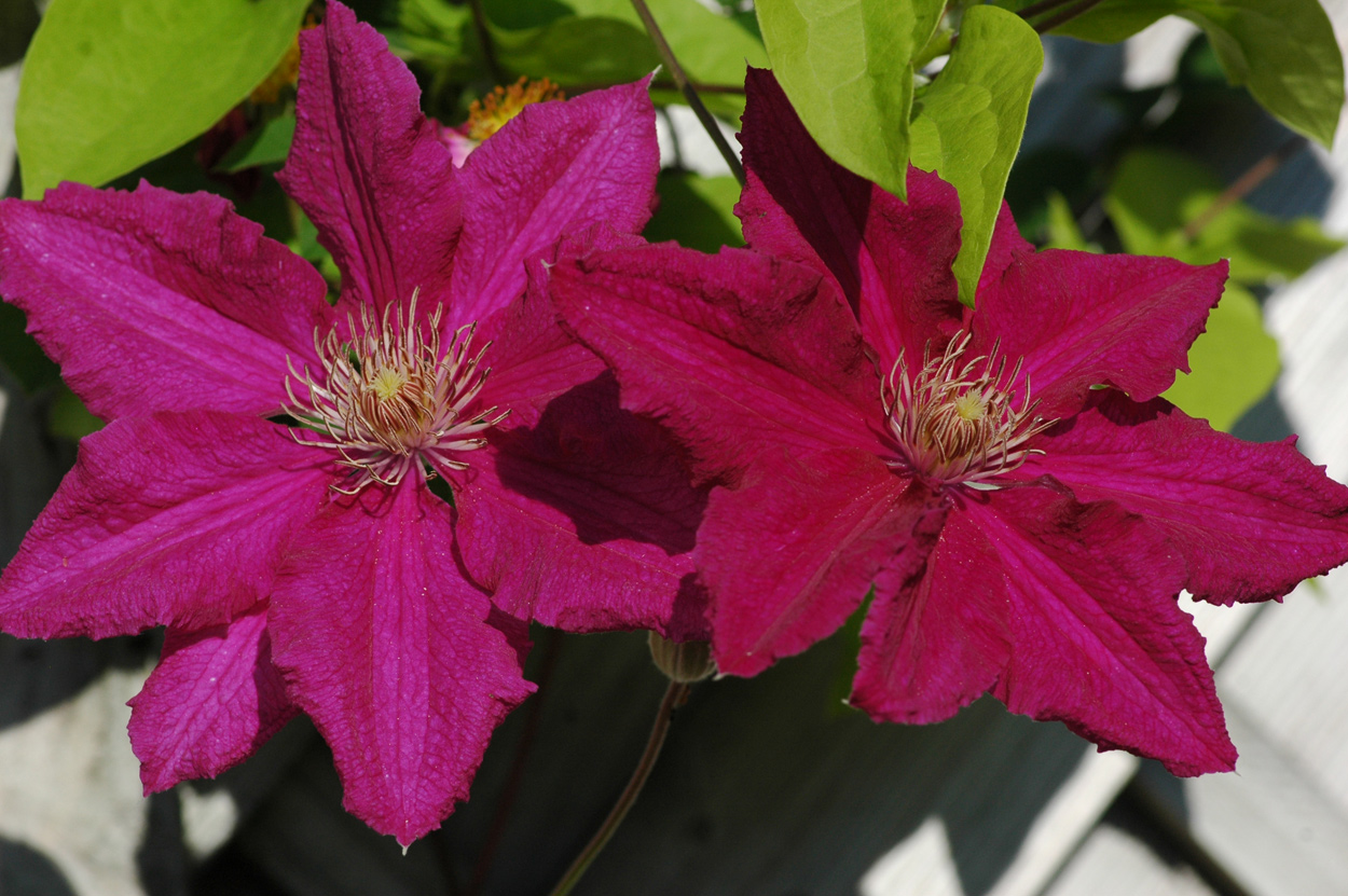 Clematis Pflanzen