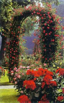 romanische rosenb gen f r kletterrosen und rambler www. Black Bedroom Furniture Sets. Home Design Ideas