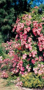 rankhilfen f r rosen clematis kletterpflanzen aus metall online kaufen bei schmid gartenpflanzen. Black Bedroom Furniture Sets. Home Design Ideas