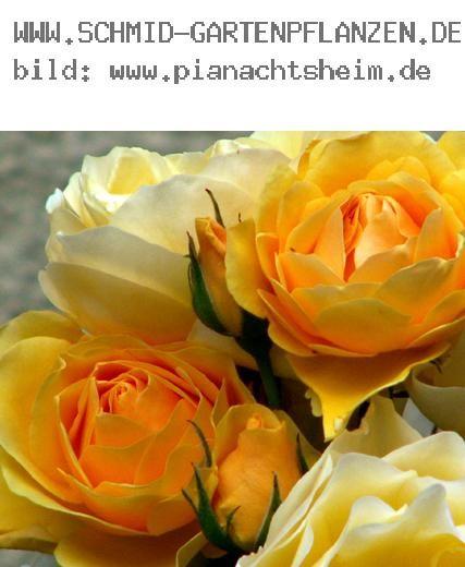 graham thomas englische rosen ab 10 90 rose graham thomas. Black Bedroom Furniture Sets. Home Design Ideas