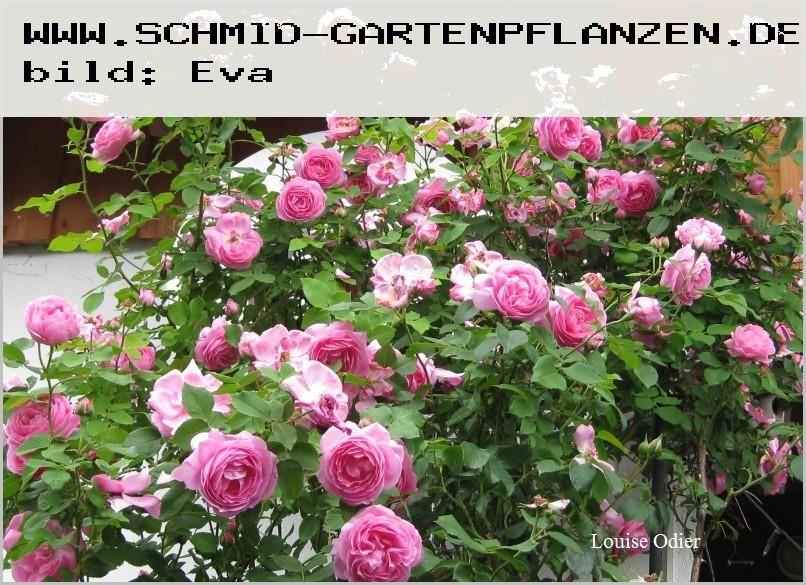 louise odier rosa borbonica ab 9 90. Black Bedroom Furniture Sets. Home Design Ideas