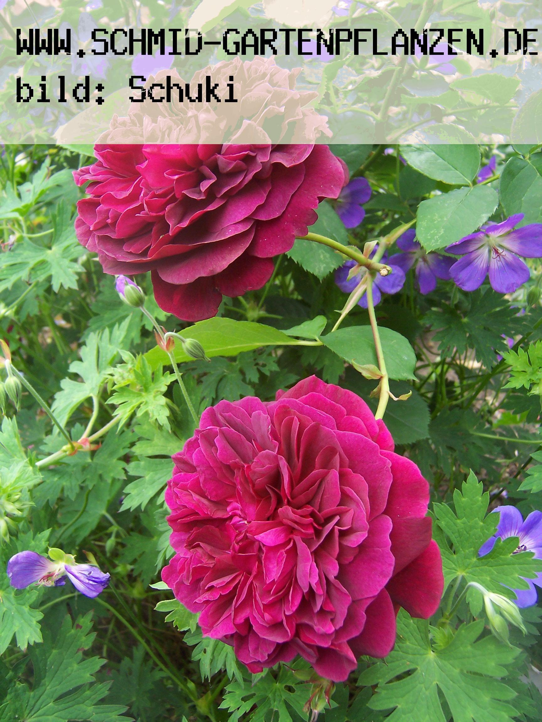 william shakespeare englische rosen ab 10 90 www. Black Bedroom Furniture Sets. Home Design Ideas