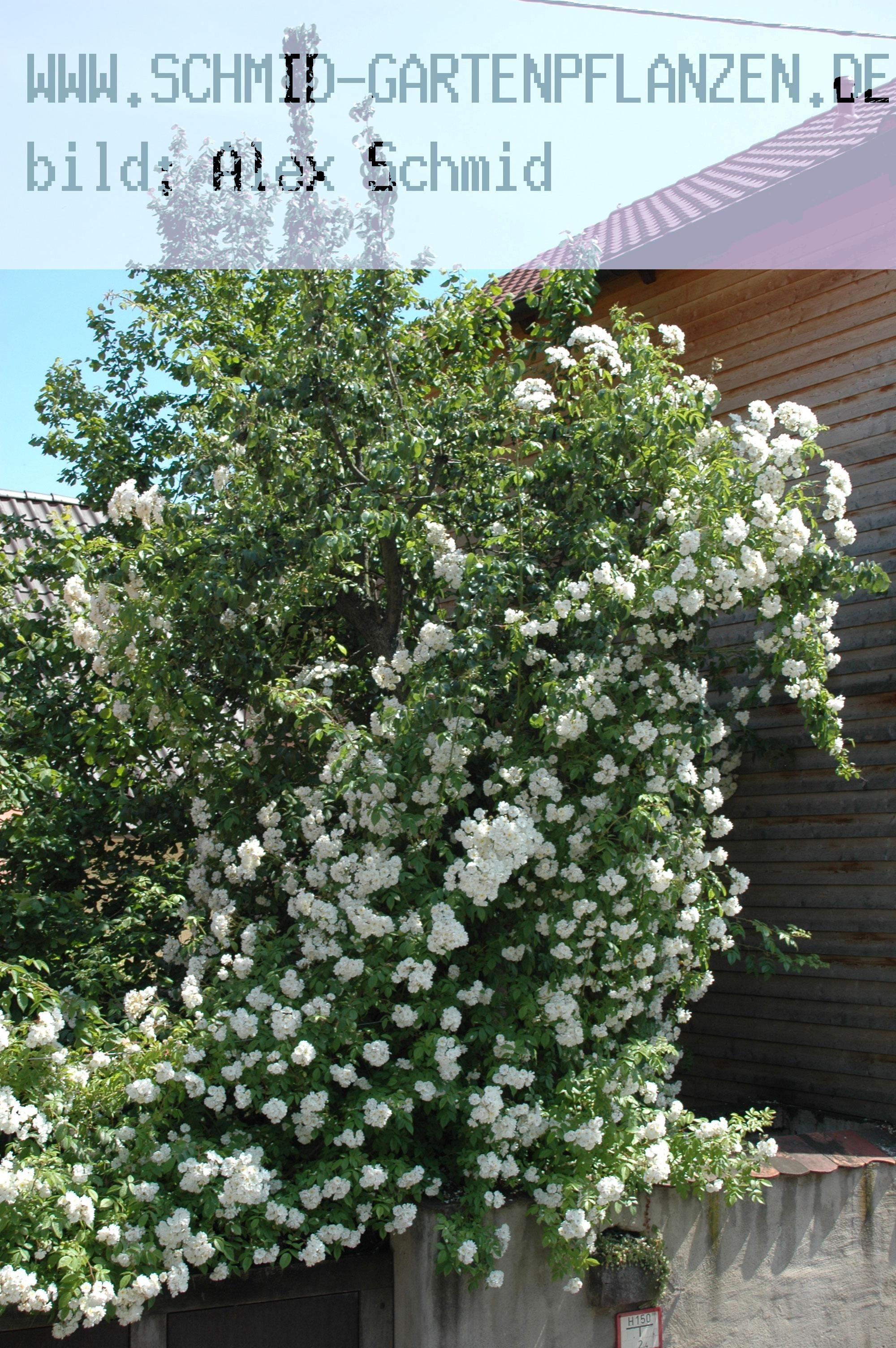 bobbie james kletterrosen und rambler ab 11 50 rose bobbie. Black Bedroom Furniture Sets. Home Design Ideas