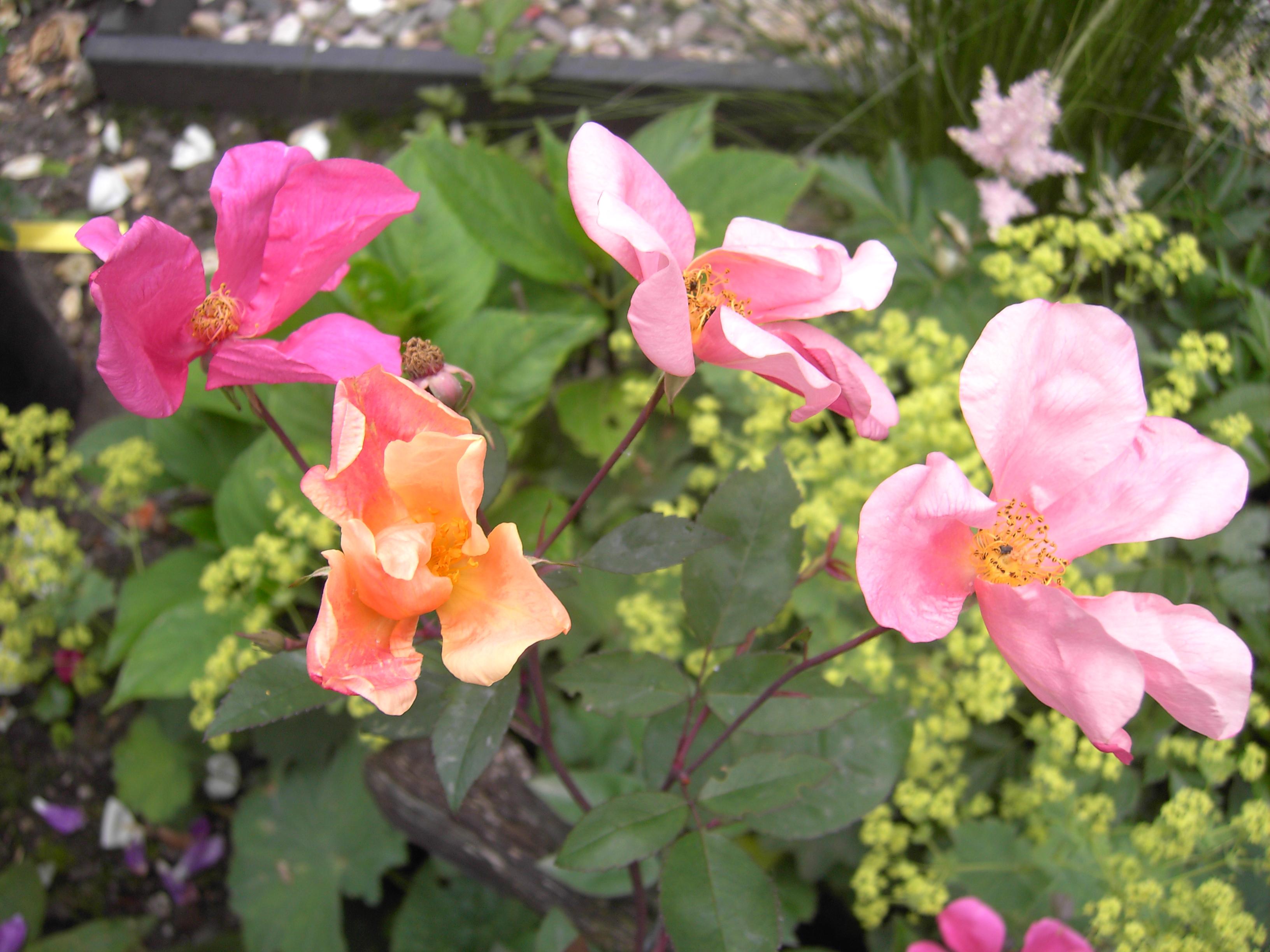 rose mutabilis rosen online kaufen bei schmid gartenpflanzen. Black Bedroom Furniture Sets. Home Design Ideas