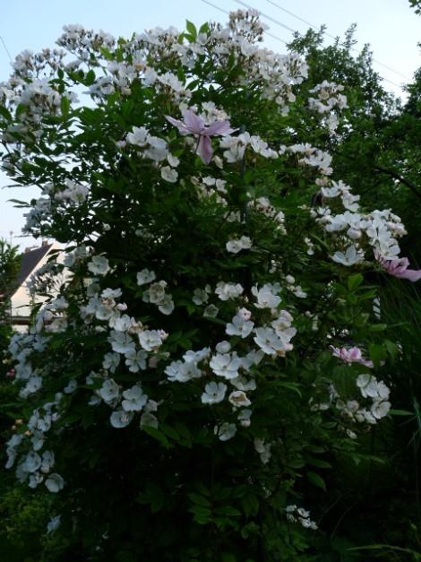 rose pleine de grace rosen online kaufen bei schmid gartenpflanzen. Black Bedroom Furniture Sets. Home Design Ideas