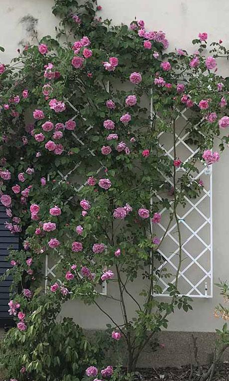 Top Stabile Wandgitter aus Stahl, als Spalier nicht nur für Rosen und @OK_28