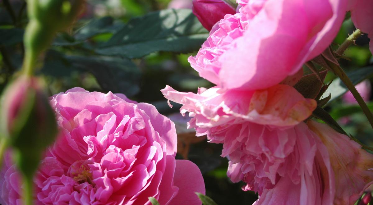 Englische Rose von David Austin