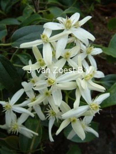 Clematis armandii 'Little White Charm'