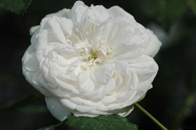 Rosier Mme. Plantier