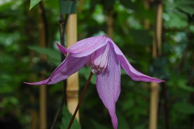 Clematis alpina 'Tage Lundell'