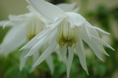 Clematis macropetala 'Snowbird'
