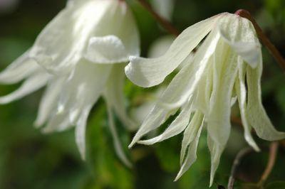 Clematis macropetala 'White Swan'