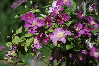 Clematis 'JOLLY GOOD' (Zojogo) PBRaf