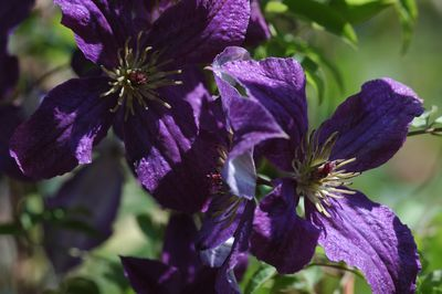 Clematis 'Sunny Sky'