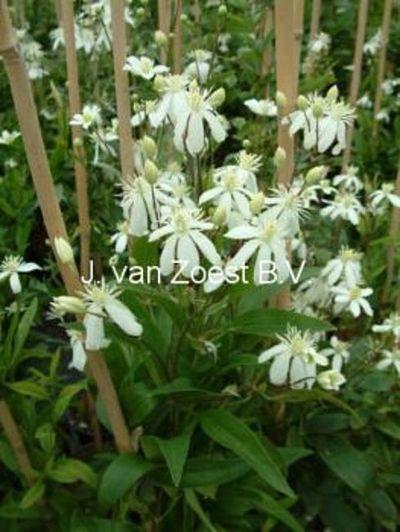 Clematis 'angustifolia'