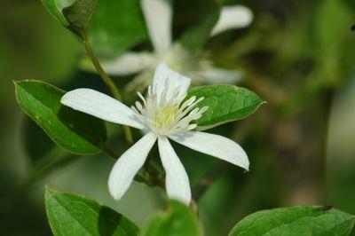 Clematis 'terniflora'