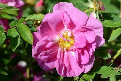Rosier Rosa cinnamomea 'Macounii'