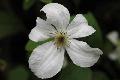 Clematis 'FOREVER FRIENDS' ('Zofofri')