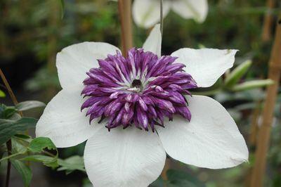 Clematis florida 'Sieboldii'