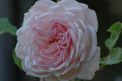 Rosier Marie Helene