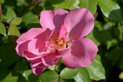 Rosier Pink Dream