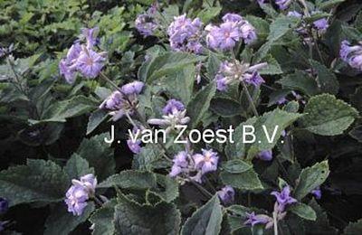 Clematis heracleifolia 'Wyevale'