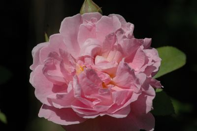Rosier Cottage Rose