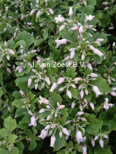Clematis heracleifolia 'Pink Dwarf'