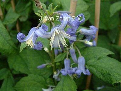 Clematis heracleifolia 'Crepuscule'