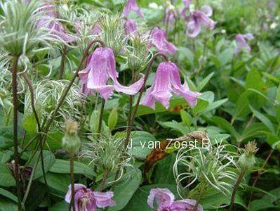 Clematis integrifolia 'Rosea'