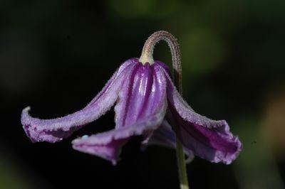 Clematis 'integrifolia'