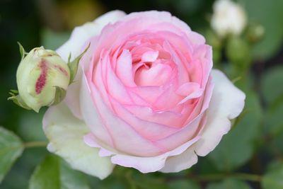 Rosier Pierre de Ronsard ('Eden Rose 85')