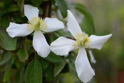 Clematis 'Spring Joy'