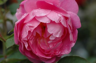 Rosier Royal Jubilee