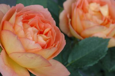 Rosier Lady of Shalott