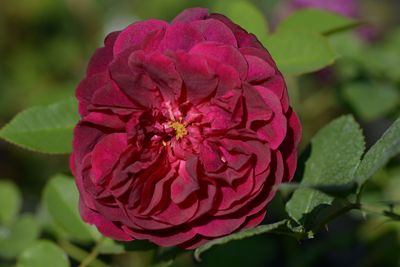 Rosier Darcey Bussell