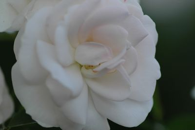 Rosier Aspirin-Rose