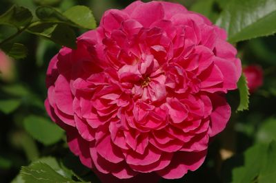 Rosier Princess Anne