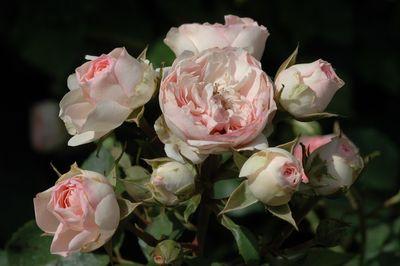 Rosier Mini Eden Rose