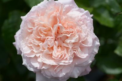 Rosier Rose de Tolbiac