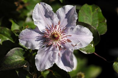 Clematis 'STILL WATERS'