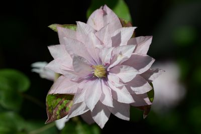 Clematis Pink Passion