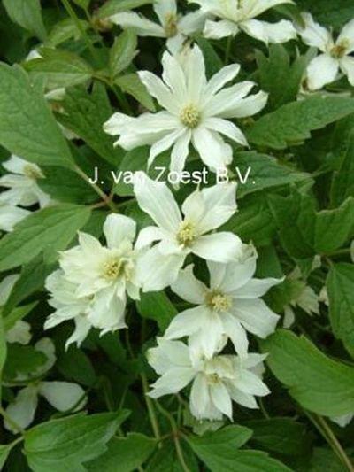 Clematis montana 'Pleniflora'