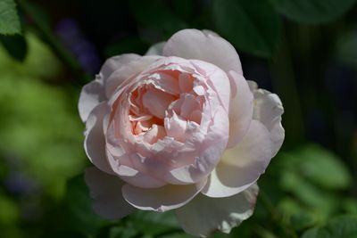 Rosier Gentle Hermione
